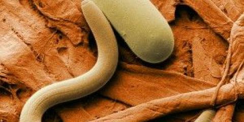 Симптоми і лікування глистів у людини